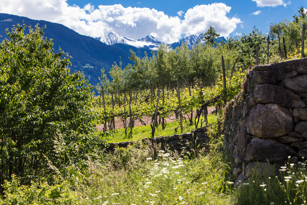 Vineyard and cultivation